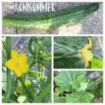 lekkere komkommers kweken in de kas